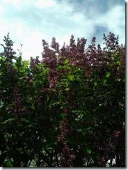 Lilacs June 18 2012
