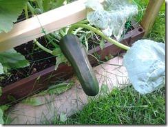 Zucchini August 30 2012