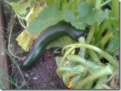 Zucchini in Garden August 13 2012