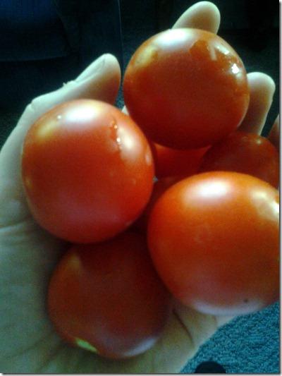 Garden Tomatoes September 24 2012