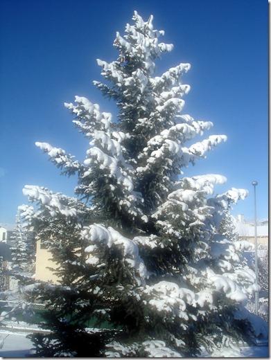 Snowy Trees November 23 2012 (10)